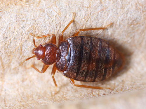 identifying bed bugs