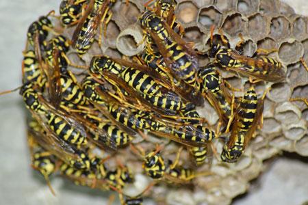 wasps & hornet beehive