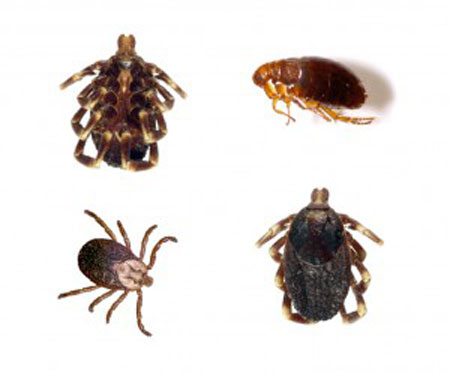 fleas, insects, pest management