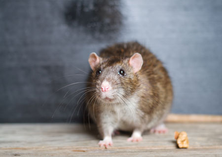 rats & mice removal, pest exterminator puyallup