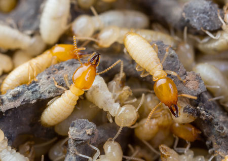 termite colony, pest control