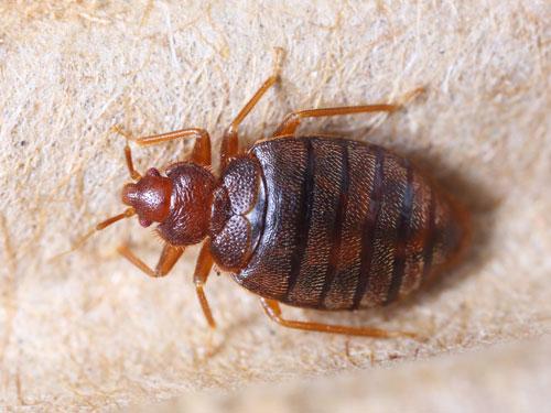 Bed Bugs Control Removal Auburn Wa Pest Exterminator Tacoma Wa