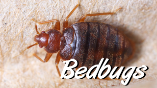 bedbugs pest control