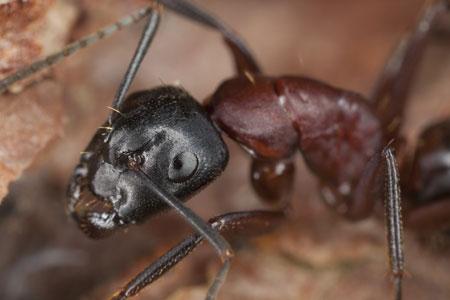 carpenter ants removal