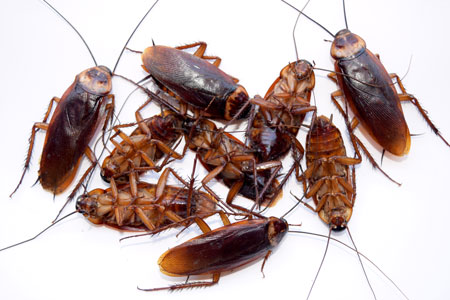 Cockroaches removal, pest management solutions