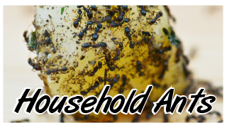 household ants
