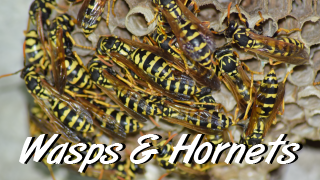 wasps and hornets