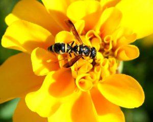 yellow jacket stinging insect-500