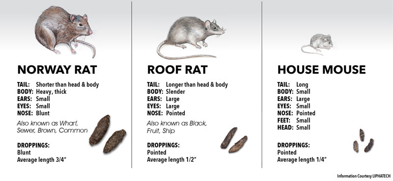 norway rat, roof rat, house mouse, free inspection