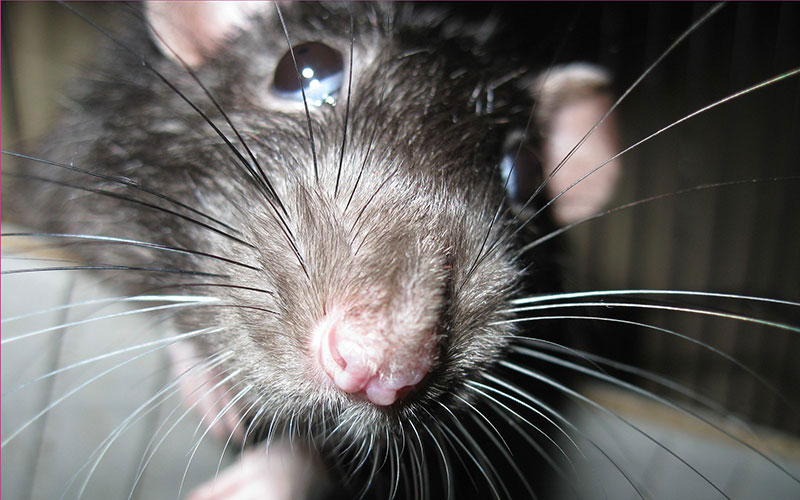 Norway Rat, Roof Rat and House Mouse – Identifying and Controlling Rodent Infestation, Damage